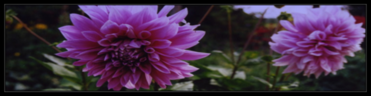Black framed dahlias